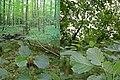 Alnus glutinosa-comp.jpg