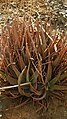 Aloe Vera - panoramio.jpg