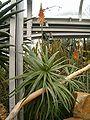 Aloe arborescens BotGardBln271207B.jpg