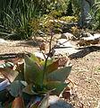 Aloe reynoldsii KirstenboshBotGard09292010DD.jpg