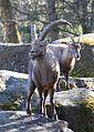 Alpensteinbock Capra ibex ibex Tierpark Hellabrunn-7.jpg