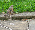 Alpine Accentor, Prunella collaris.jpg