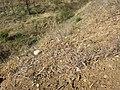 Alyssum alyssoides sl26.jpg