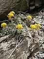 Alyssum cuneifolium 001.JPG