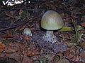 Amanita-phalloides-2120.jpg