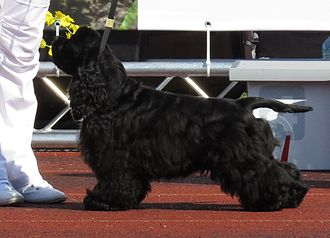 American Cocker Spaniel - A black American Cocker Spaniel in a show cut.