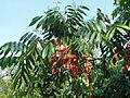 Amherstia nobilis-Jardin botanique de Kandy.jpg