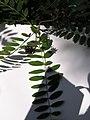 Amorpha fruticosa2.JPG
