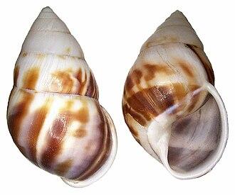 Amphidromus perversus - Abapertural and apertural view of the shell of Amphidromus perversus