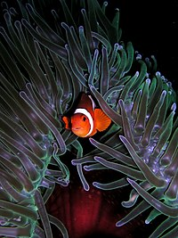Елбеҙәк балыҡ (Amphiprion ocellaris)
