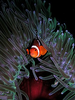 Amphiprion ocellaris (Clown anemonefish) in Heteractis magnifica (Sea anemone) - Photo Credit: Nick Hobgood