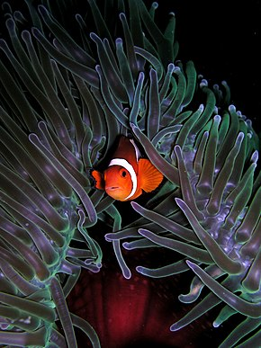 alt=Description de l'image Amphiprion ocellaris (Clown anemonefish) in Heteractis magnifica (Sea anemone).jpg.