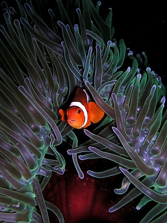 Amphiprioninae - Ocellaris clownfish nestled in a magnificent sea anemone (Heteractis magnifica)