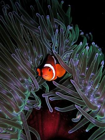 Amphiprion ocellaris (Clown anemonefish) in Heteractis magnifica (Sea anemone).jpg