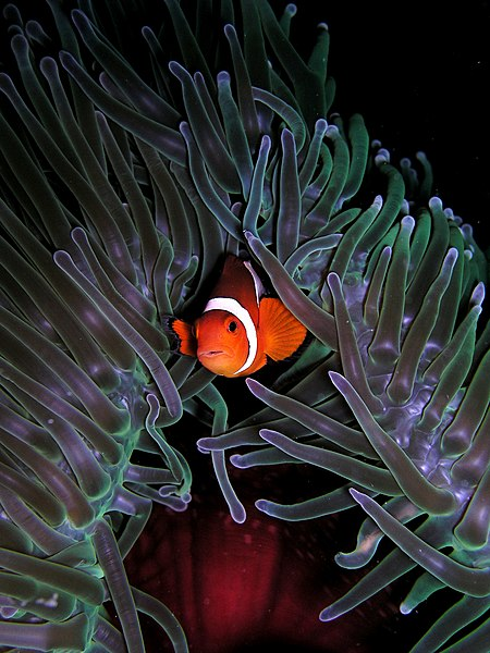 File:Amphiprion ocellaris (Clown anemonefish) in Heteractis magnifica (Sea anemone).jpg