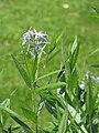 Amsonia ciliata var. ciliata Amzonia 2013-06-16 03.jpg