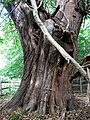 An ancient Sweet Chestnut tree - detail - geograph.org.uk - 557646.jpg
