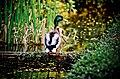 Anas platyrhynchos (Stockente, Mallard) - Weltvogelpark Walsrode.jpg