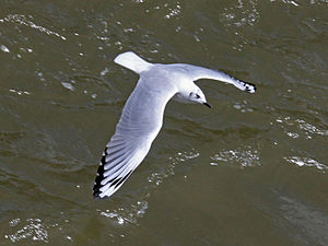 Andean gull - Image: Andean Gull RWD4