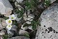 Anemonastrum protractum (Ranunculoceae) (32948206620).jpg