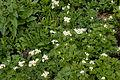 Anemone narcissiflora 21.jpg