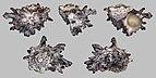 Angaria delphinus 01.jpg