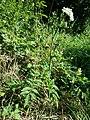 Angelica sylvestris subsp. sylvestris sl12.jpg