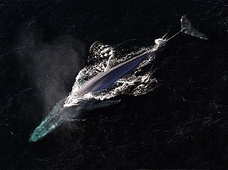 Animal - The blue whale is the largest animal that has ever lived.