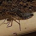 Anisoptera exuvia-2-3.jpg