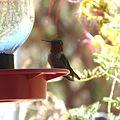 Anna's Hummingbird. Calypte anna - Flickr - gailhampshire.jpg