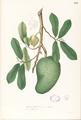 Annona muricata Blanco1.196-original.png