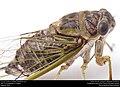 Annual cicada (Cicadidae, Neotibicen sp.) (28934345681).jpg