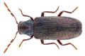 Anobium punctatum (Geer, 1774) (28692210695).png