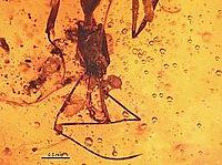 Anochetus intermedius BMNHP-II33 02.jpg