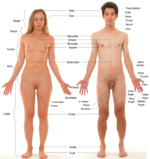 Photograph of an adult female human, with an adult male for comparison. Note that the pubic hair of both models is removed.