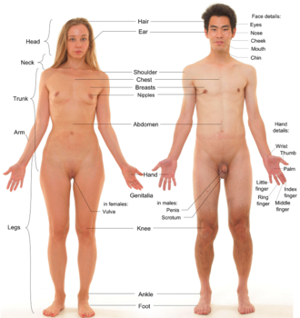 Photograph of an adult female human, with an adult male for comparison. Note that both models have partially shaved body hair; e.g. clean-shaven pubic regions. Anterior view of human female and male, with labels 2.png