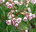 Apocynum androsaemifolium var androsaemifolium 3.jpg