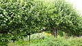 Apple Tree in Standen House Garden - geograph.org.uk - 1192791.jpg