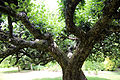 Apple tree trunk and boughs Gibberd Garden Essex England.JPG