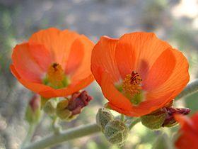 Apricot globemallow (Sphaeralcea ambigua); Hidden Valley (12525776573).jpg