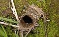 Aptostichus trapdoor.jpg