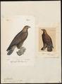 Aquila chrysaëtos - 1700-1880 - Print - Iconographia Zoologica - Special Collections University of Amsterdam - UBA01 IZ18100181.tif