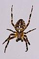 Araneus diadematus (European Garden Spider) 001.jpg