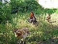 Araucana-PICT0023 edited.JPG