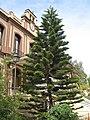 Araucaria Columnaris - Cook Pine 4 (2176218750).jpg