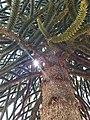 Araucaria Lonquimay.jpg