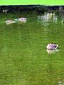 Arboretum - 'Land unter' nach Gewittersturm 2012-07-03 17-30-46 (P7000).JPG