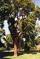 Arbutus andrachne.jpg