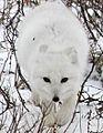 Arctic Fox (6356985421).jpg