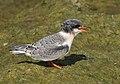 Arctic tern (14829957555).jpg